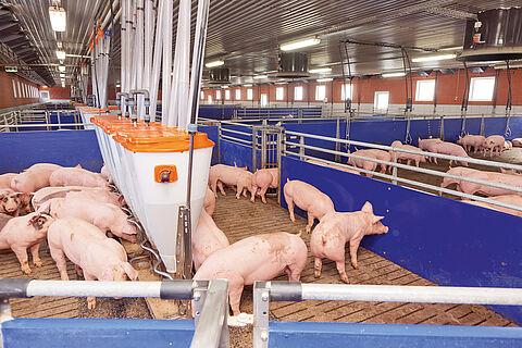 Угояване на свине